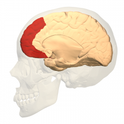 Prefrontal_cortex_(left)_-_medial_view